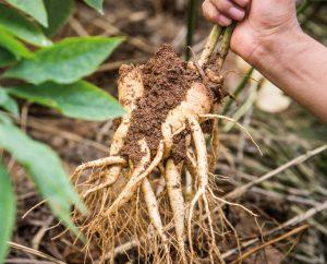 Thời gian mùa thu hoạch nhân sâm tươi tại Hàn Quốc khi nào?